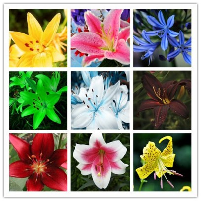 different-kinds-of-lily-flowers-aliexpress-buy-free-shipping-cheap-perfume-lily-seeds-mixing